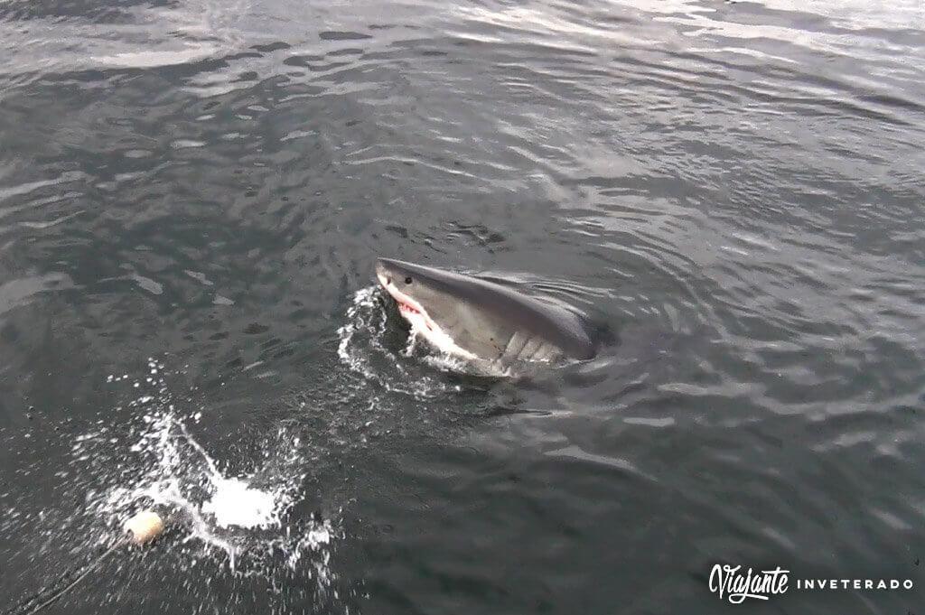 mergulho com tubarao na africa do sul